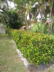 Cocoplum hedge - low trimmed