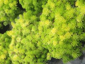 Succulent - Gold Sedum