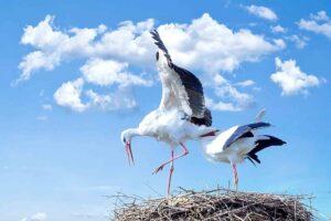 storks animal photography