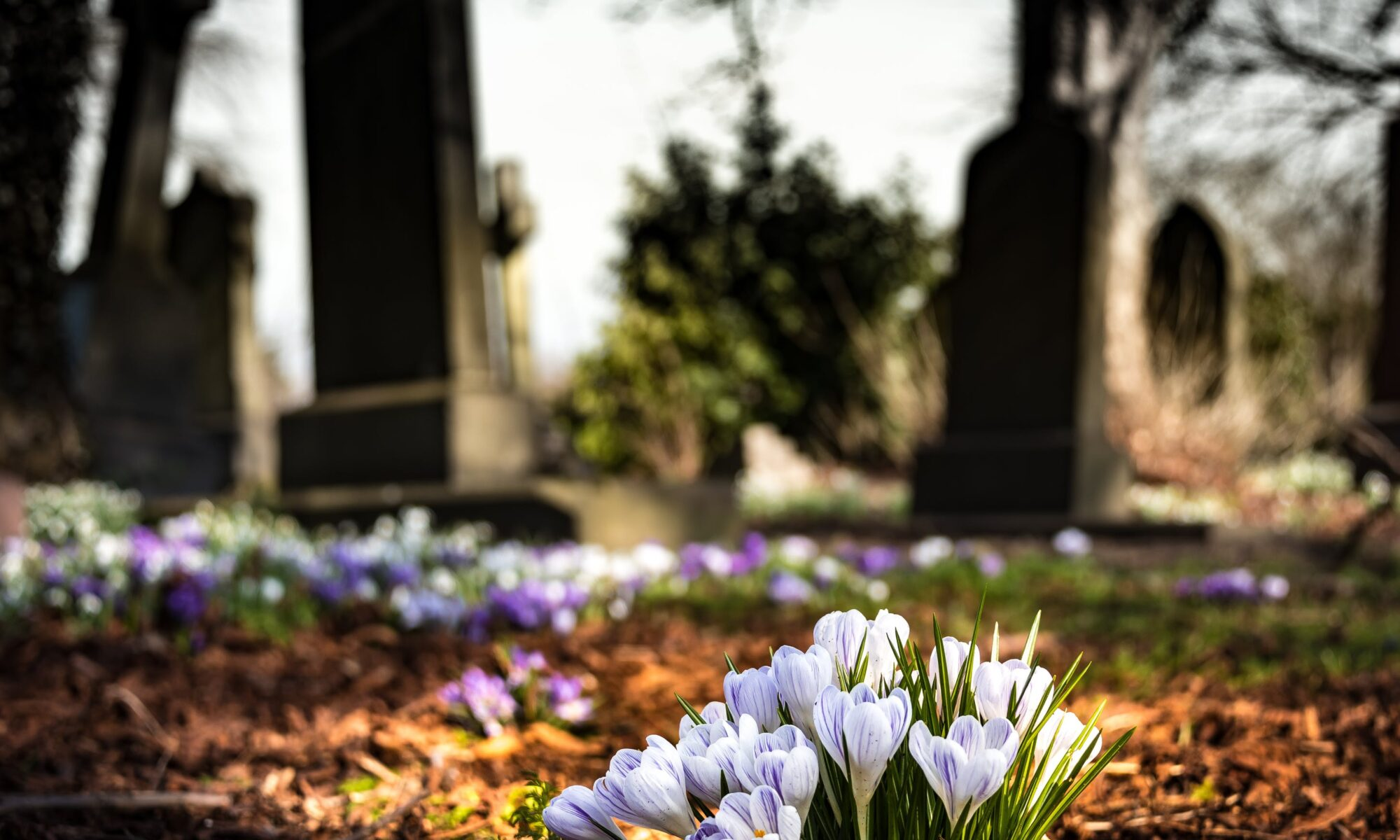purple flowers growing in a cemetery
