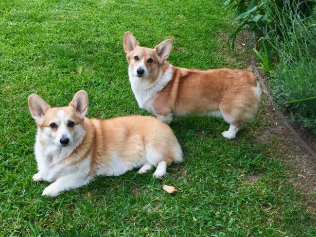 Corgi Dogs near the Kumquat tree