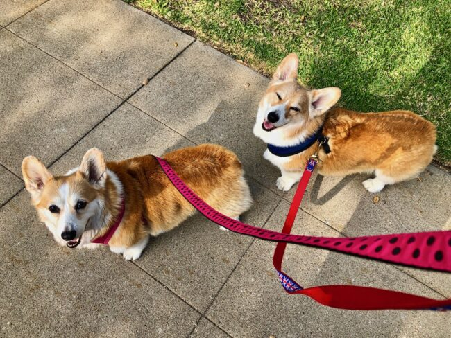 Corgi dogs on their leash
