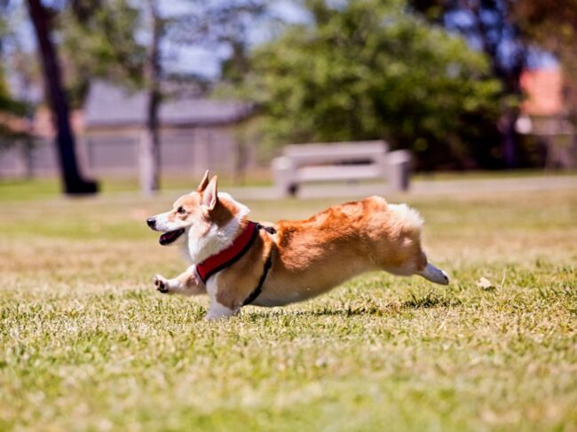 Frankie the Corgi Running