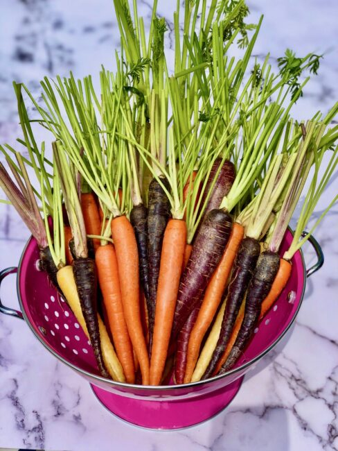 Fresh Multi-Colored Carrots with Stems in a pink strainer