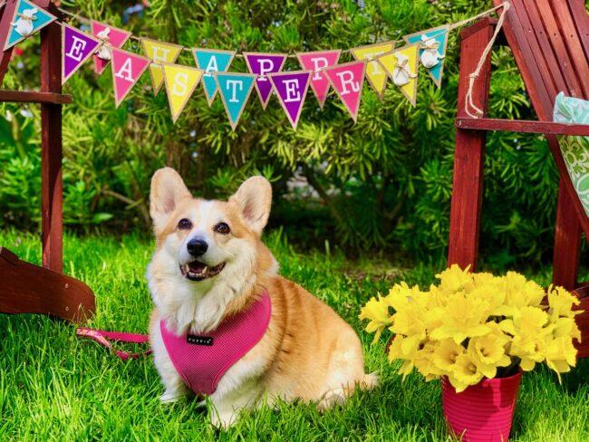 Happy Easter from Corgi Dog