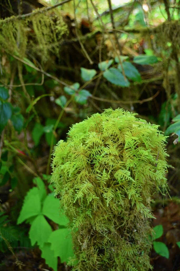 Seal Bay Park, faery moss
