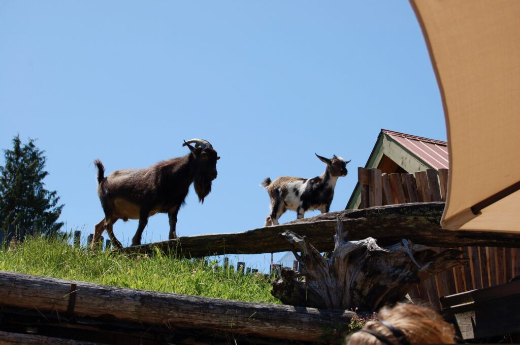 Goats On Roof, Coombs