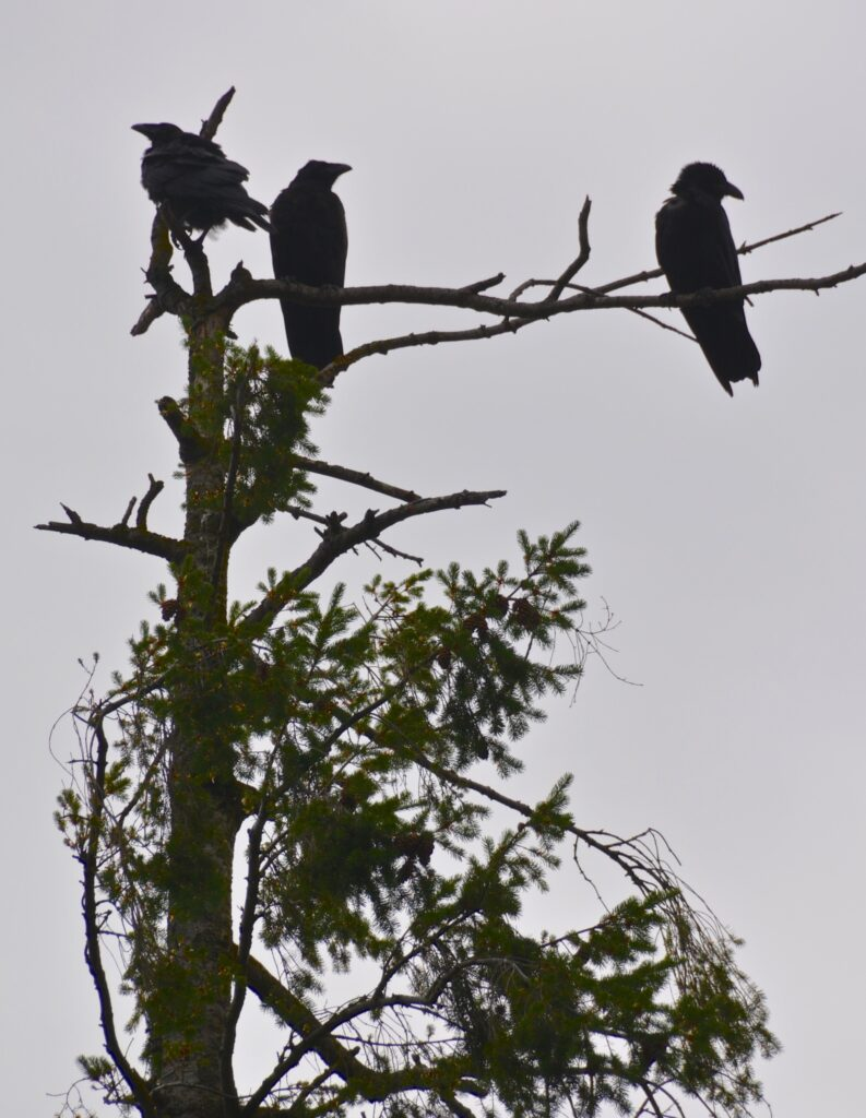 Crows, the trilogy