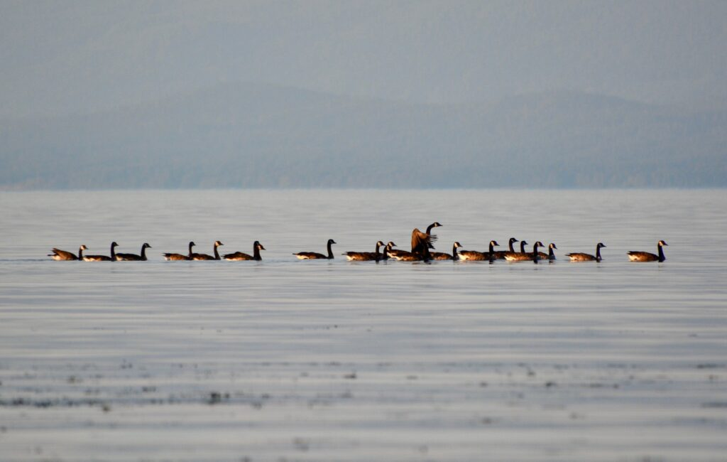 Canada geese swim by