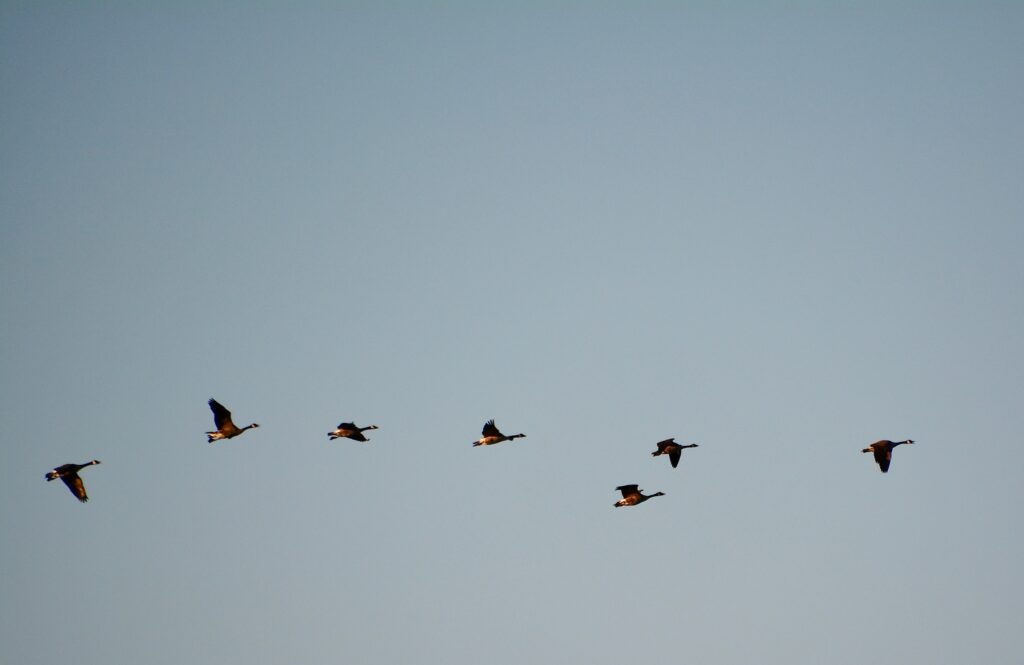 Canada geese fly by