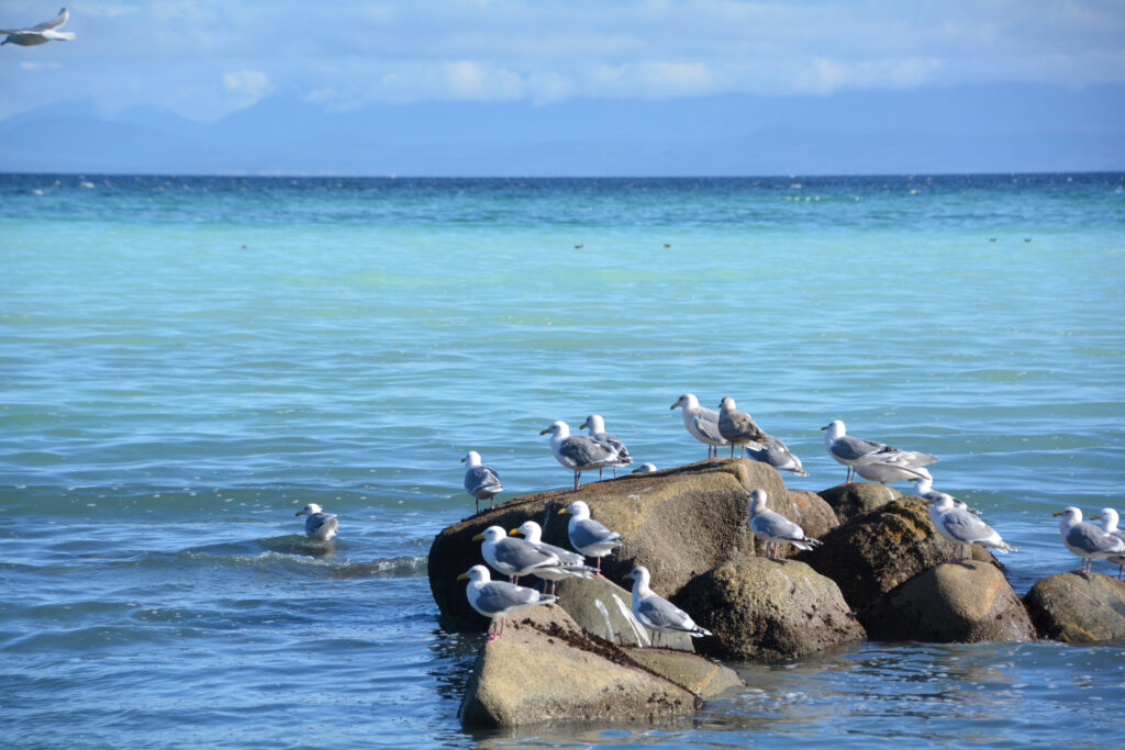 Seagulls enjoying the herring run