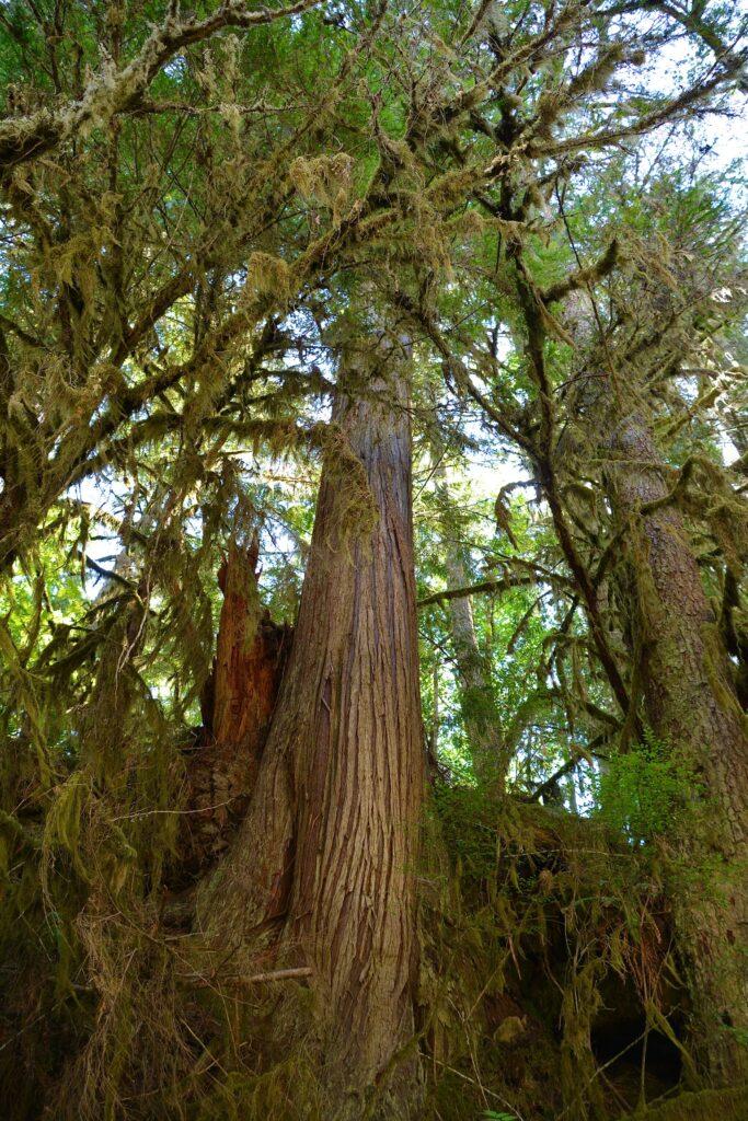 Cedars in Seal Bay Park