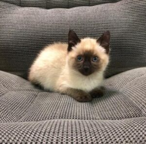 siamese cat on chair