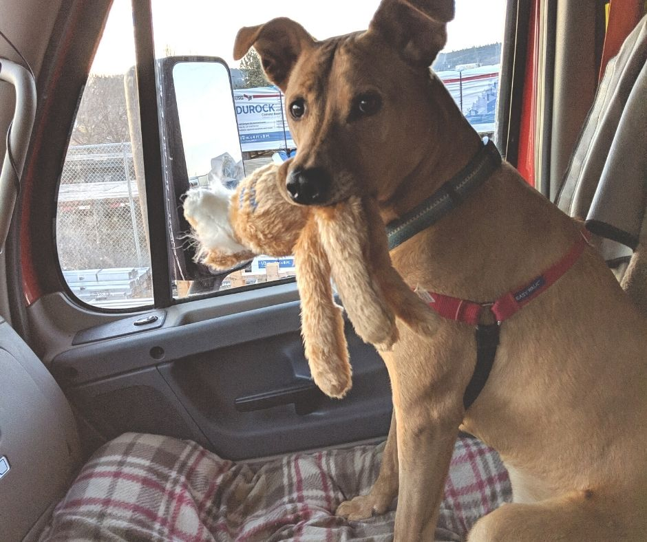 dog with stuffed animal in truck