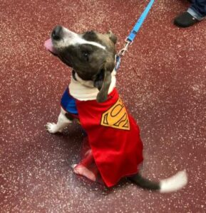 dog in superman outfit