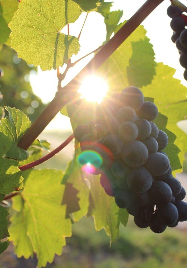 grapes-984493