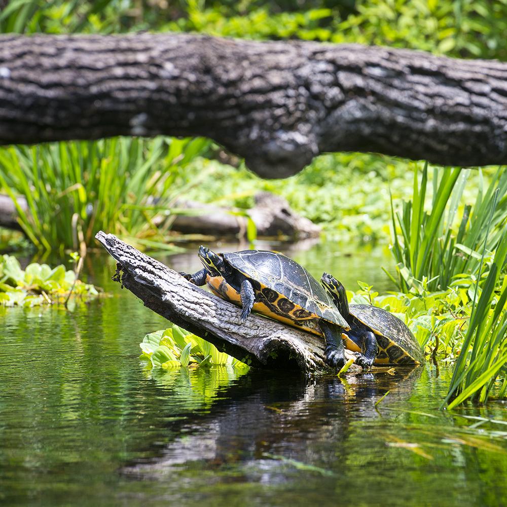 Turtle on a log at Ichetucknee Springs State Park