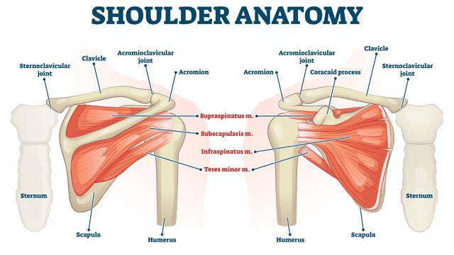 Anatomy of the Shoulder Girdle