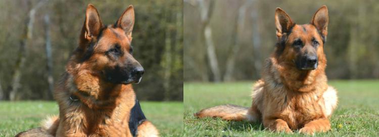 Our German Shepherds Pheonix von Buchmann