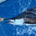sailfish-photo-2-2