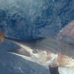 blue-marlin-photo-8