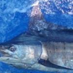 blue-marlin-photo-8b
