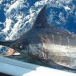 blue-marlin-photo