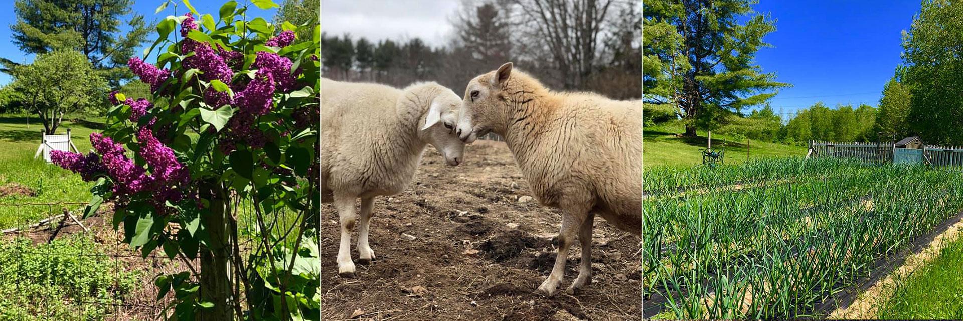 Sheep at Three Charm Farm Alfred Maine