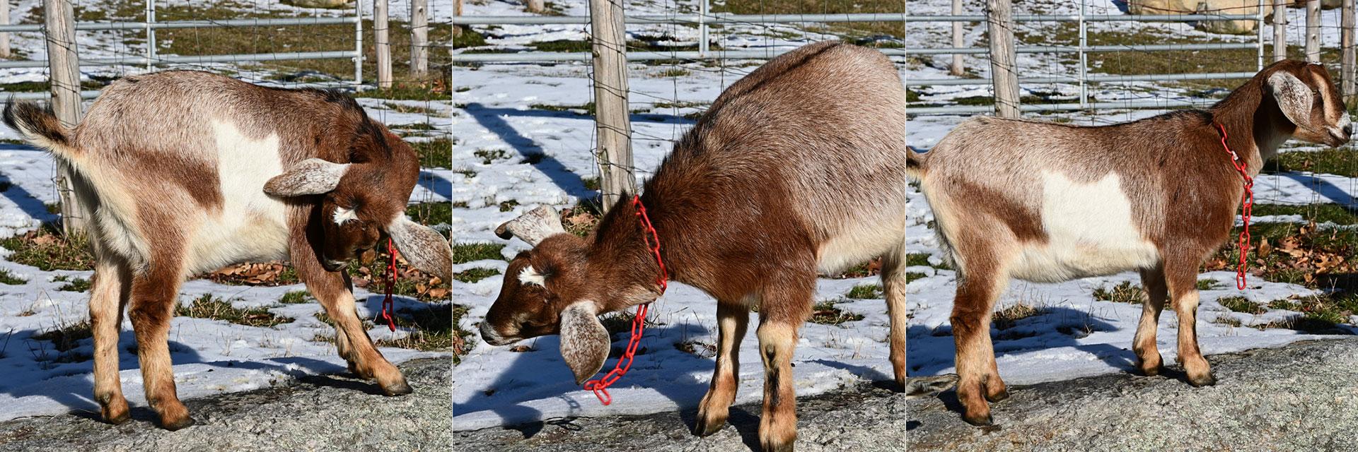 Goats at Three Charm Farm