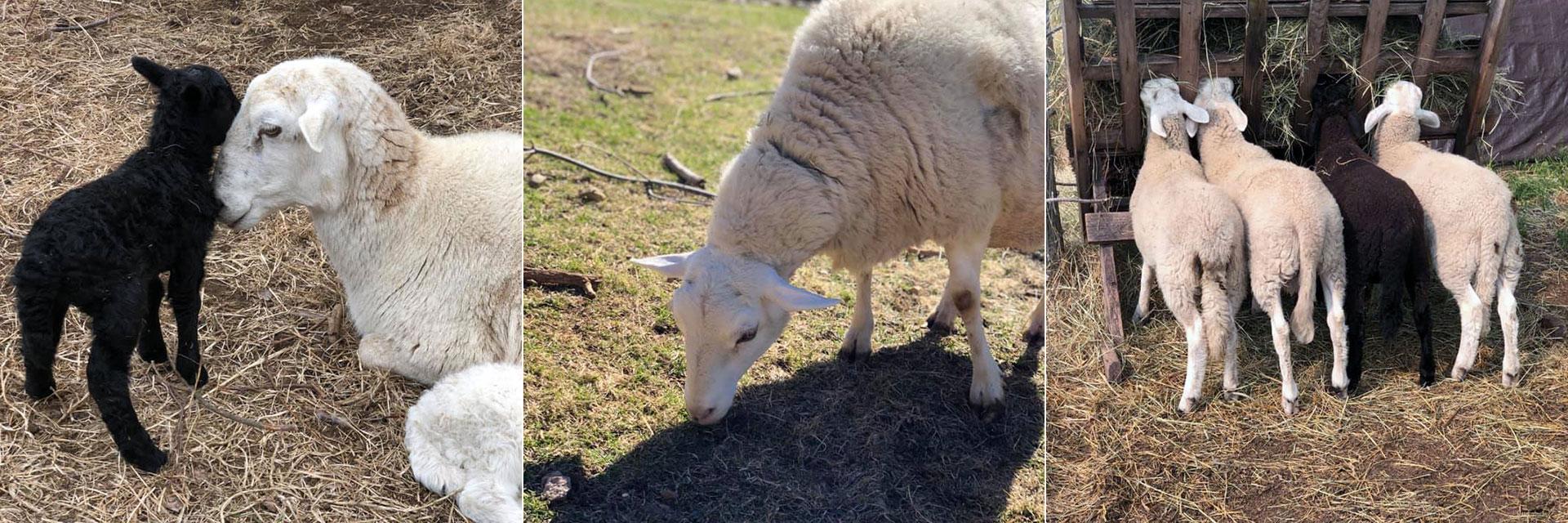 Sheep at Three Charm Farm