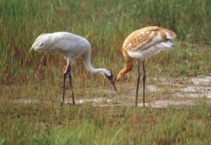 Adult (left) and juvenile (right)whooping cranes.