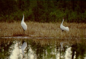 Whooping Cranes making unison call at nest site, Wood Buffalo National Park, Canada.  ** photo by Brian John, President, Whooping Crane Conservation Associations **
