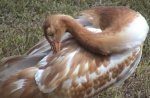 young_whooping_crane.jpg