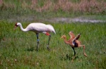 Whooping Crane Chick at 20 days