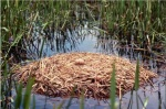 Whooping Crane nest with egg
