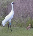Male Whooping Crane and chick
