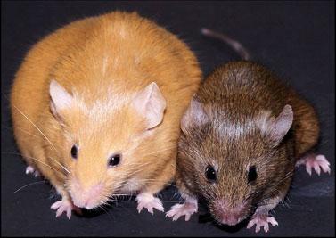 Figure-3-Agouti-mice