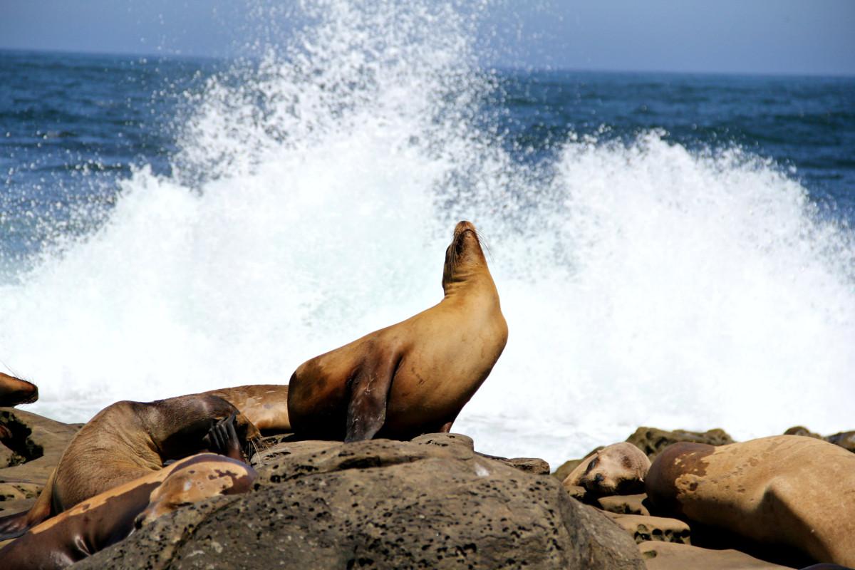 La Jolla Cove Sea Lions