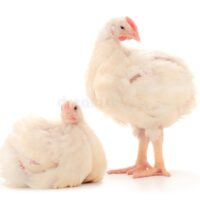 Small Broiler Chicken Whole