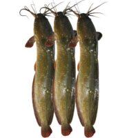 Live Magur / Mangur Fish