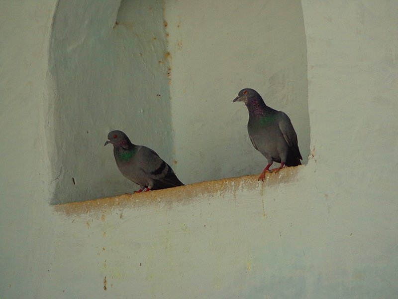 Two pigeons are resting inside a niche