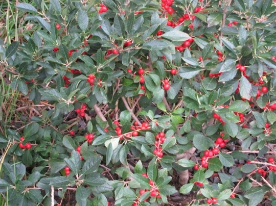 Holly with bright red winterberries.