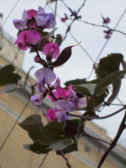Lablab purple leaf bean