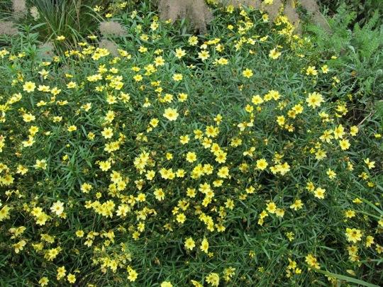 Sunny coreopsis, still in full summer bloom