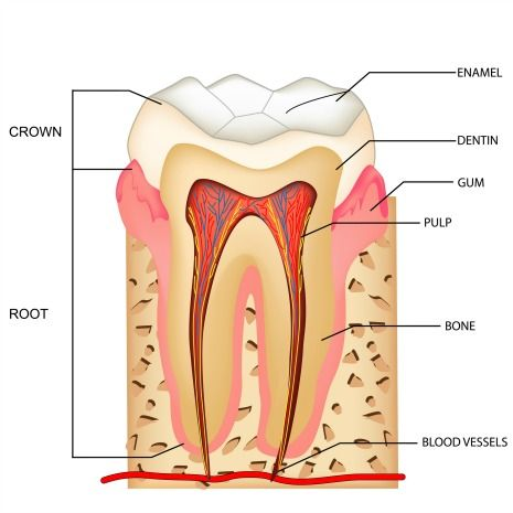 Human Tooth Anatomy Chart