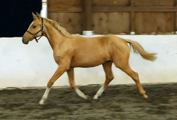 Golden Opportunity Trot Yearling web 350