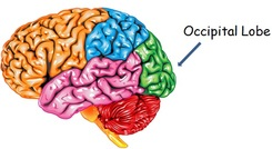 occipital-lobe