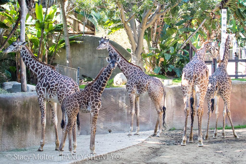 Giraffe Facts for Kids