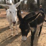Amazing Health Benefits of Donkey Milk