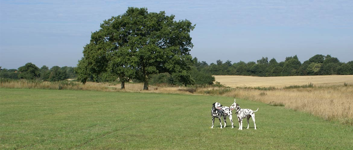 Dog walking two Dalmations in Roman Fields